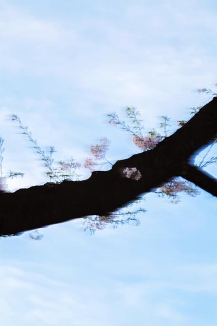 , 'Sakura 007,' 2015, IBASHO