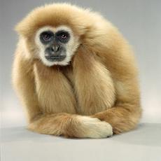 Jill Greenberg, 'Gibbon Lean', 2004, ClampArt