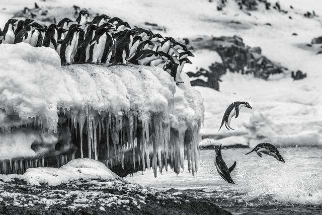 , 'Leap of Faith,' , Paul Nicklen Gallery