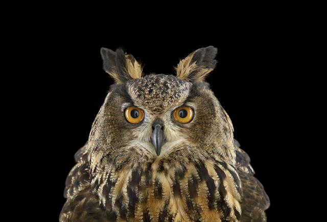 Brad Wilson, 'Eurasian Eagle Owl #1, St. Louis, MO', 2012, photo-eye Gallery