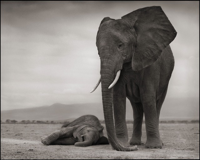 """Nick Brandt, 'On this Earth, A Shadow Falls, 2010 with """"Cheetah and Cubs, 2007"""" photograph 67', photo-eye Gallery"""