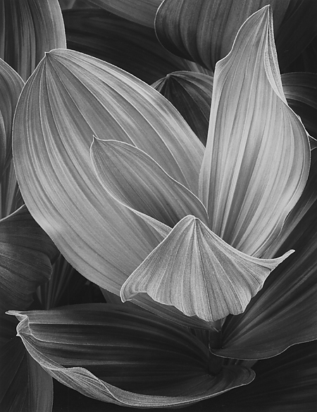 , 'Corn Lily, Eastern Sierra, California,' 1977, Scott Nichols Gallery