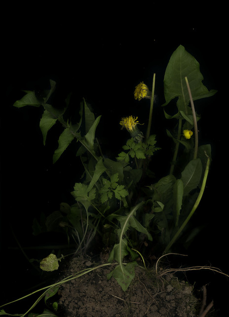 , 'Löwenzahn (Taraxacum officinale),' 2018, Galerie Judith Andreae