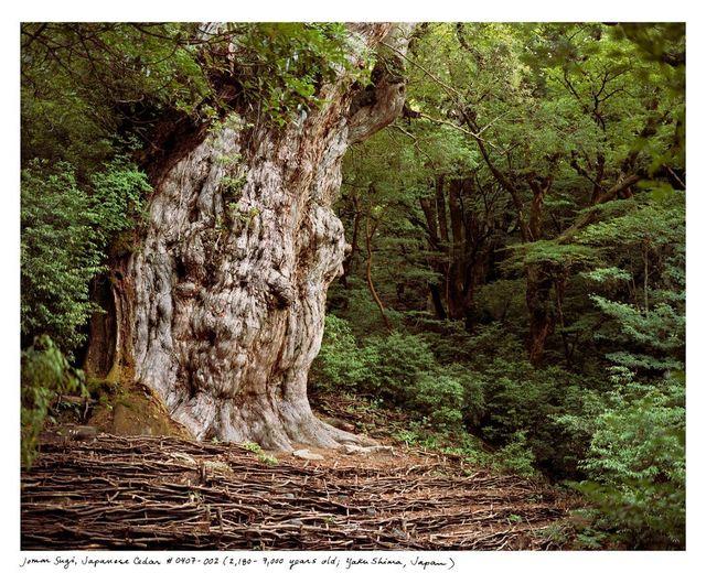 , 'Jomon Sugi, Japanese Cedar #0704-002 (2,180 – 7,000 years old; Yaku Shima, Japan),' 2004, Sapar Contemporary