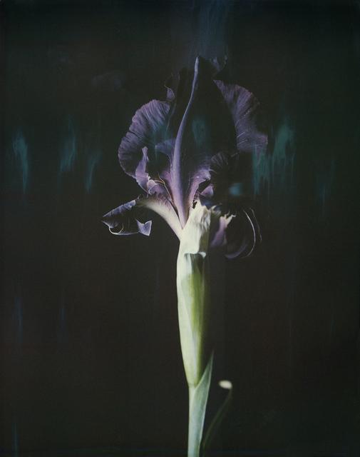 , 'Iris atropurpurea P06,' 2018, Talley Dunn Gallery