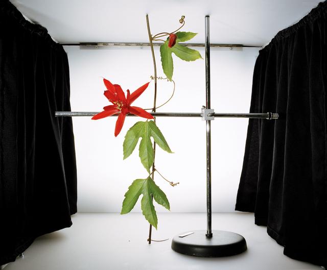 , 'Passiflora vitifolia,' 2003, Kunsthall Stavanger