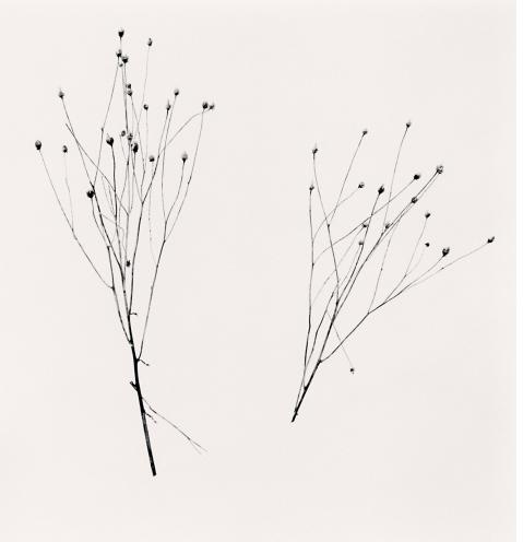 Michael Kenna, 'Two Winter Stalks, Biei, Hokkaido, Japan, 2013', 2013, Weston Gallery