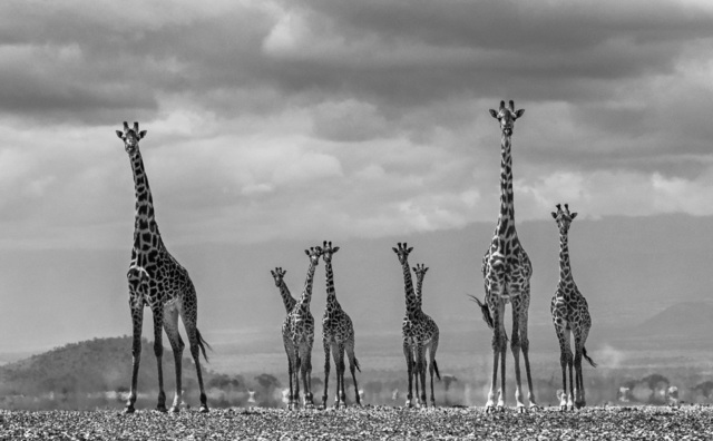 David Yarrow, 'Giraffe City ', 2016, Maddox Gallery