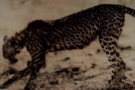 , 'Cheetah. Kenya,' 1997, Staley-Wise Gallery