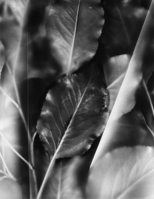 , 'Fluted Leaves, from the series Finding Light,' 2015, Circuit Gallery