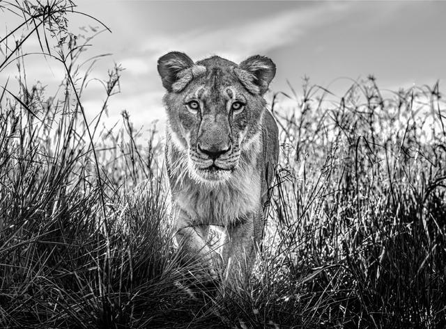 David Yarrow, 'The Hunter', 2020, Photography, Archival Pigment Print, Hilton Asmus