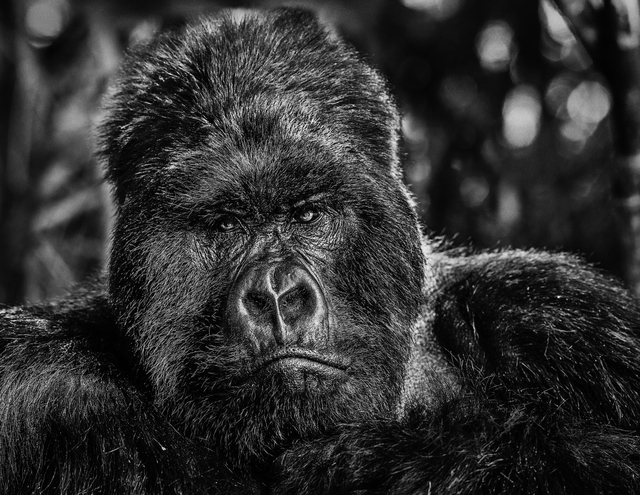David Yarrow, 'The Governor', 2019, Photography, Black and white print, Isabella Garrucho Fine Art