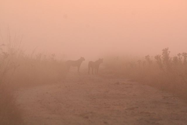 , 'Lions in the mist,' 2011, Anastasia Photo