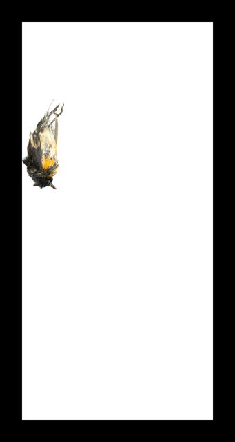 , 'American Redstart,' 2017, Corkin Gallery