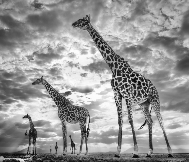 David Yarrow, 'Keeping Up With The Crouches ', 2019, Print, Archival Pigment Print, Maddox Gallery