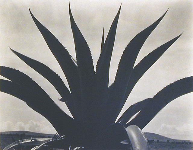 Edward Weston, 'Maguey Cactus, Mexico 1926', 1926, Weston Gallery