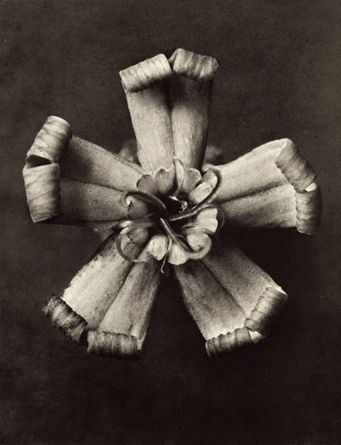 , 'Plate 49 - Silene vallesia, Catchfly ,' , photo-eye Gallery