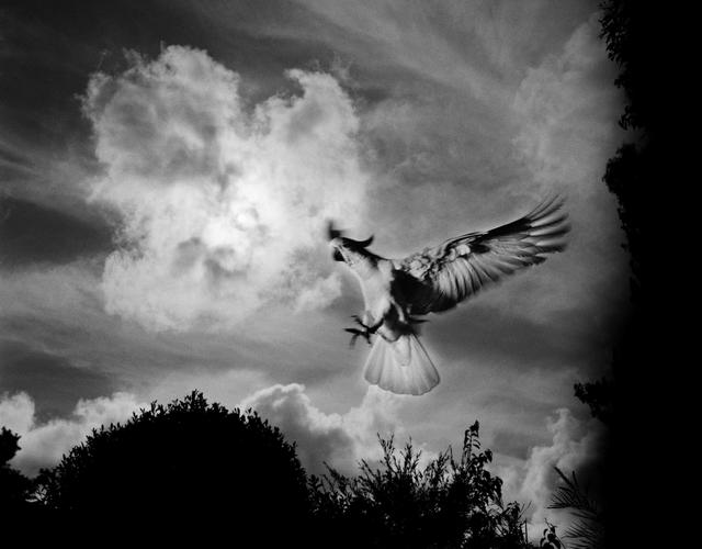 , 'Cockatoo, backyard, Newcastle, New South Wales,' 2011, Stills Gallery