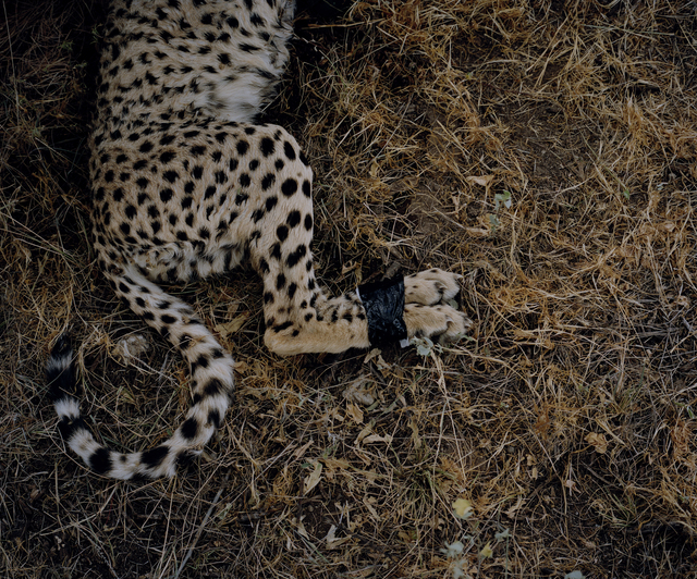 , 'Cheetah, Samburu National Park, Kenya,' 2014, Francesca Maffeo Gallery