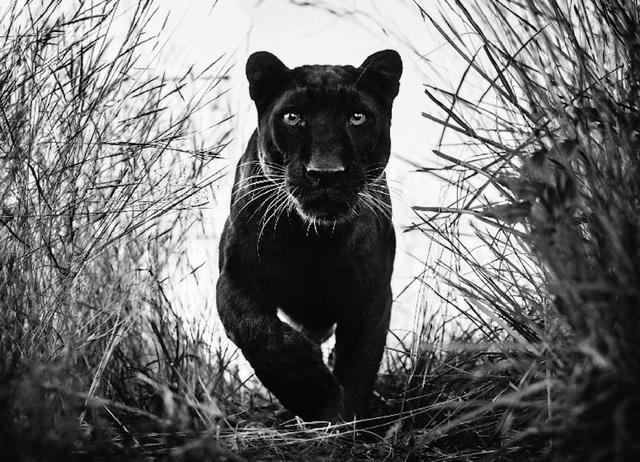 David Yarrow, 'Black Panther', 2018, Photography, Archival Pigment Print, Hilton Asmus
