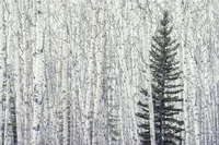 , 'Aspen and Spruce,' 2005, 555 Gallery