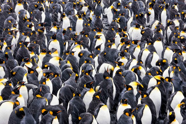 , 'Kings of Antarctica,' , Paul Nicklen Gallery
