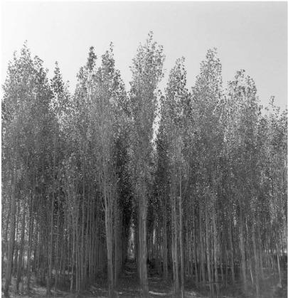 Frauke Eigen, 'Pappelwald, Afghanistan', 2003, Atlas Gallery