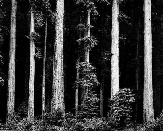 , 'Redwoods, Bull Creek Flat, Northern California,' 1960, Peter Fetterman Gallery