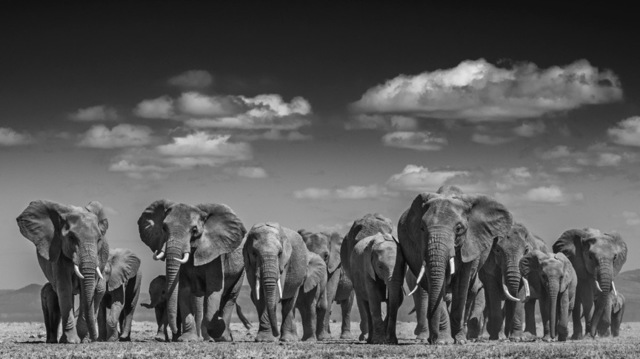 David Yarrow, 'Elephant uprising', Galleri Fineart