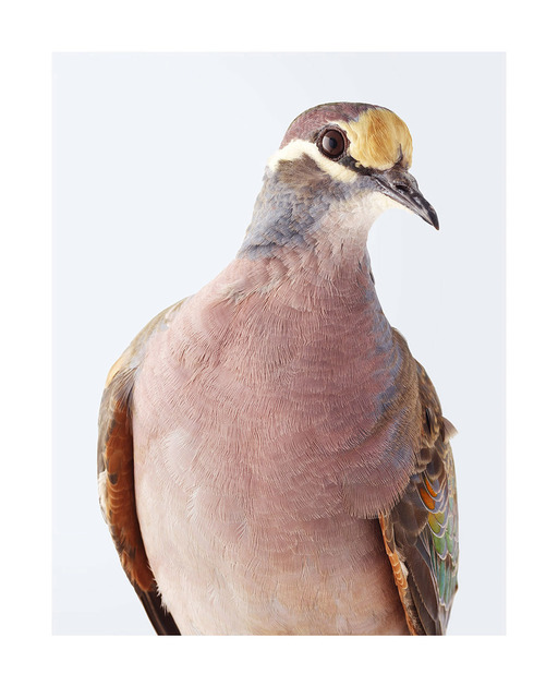 , 'Common Bronzewing ,' 2017, Purdy Hicks Gallery
