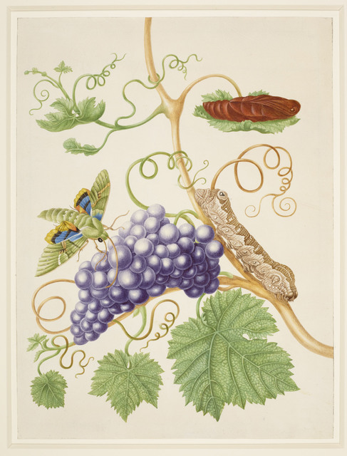 , 'Grape Vine with Gaudy Sphinx Moth,' 1702-1703, Royal Collection Trust