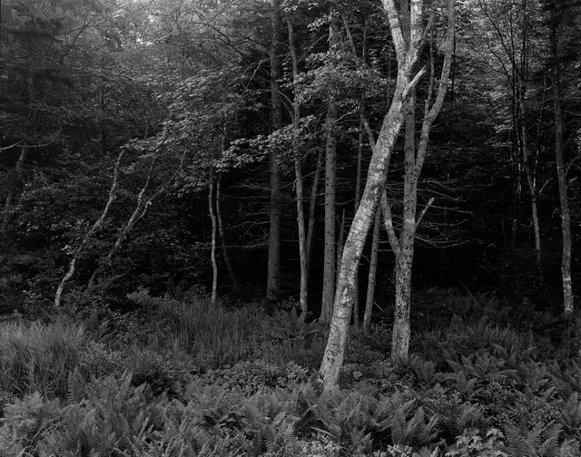 George Tice, 'Woods, Port Clyde, Maine', 1970, Photography, Silver Gelatin, Gallery 270