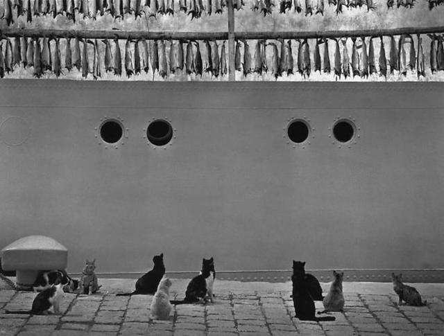 Pentti Sammallahti, 'Iceland (Cats Looking Up at Hanging Fish)', 1980, Photography, Gelatin Silver Print, Peter Fetterman Gallery