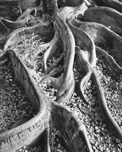 Ansel Adams, 'Roots, Foster Garden, Honolulu, Hawaii ', 1948, The Ansel Adams Gallery