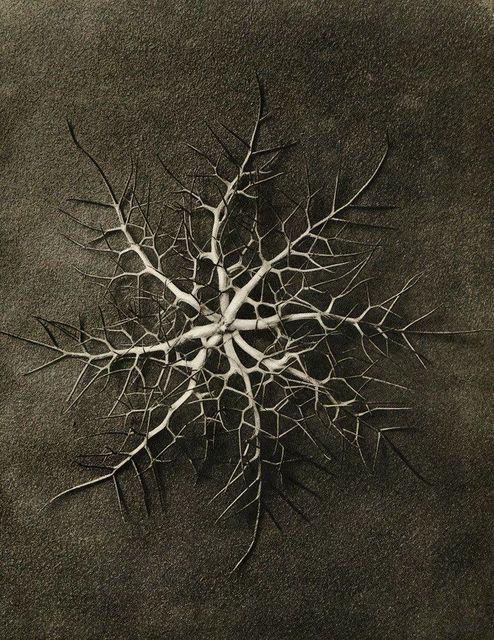 , 'Plate 28 - Nigella damascena, Love-in-a-mist, sepals ,' , photo-eye Gallery