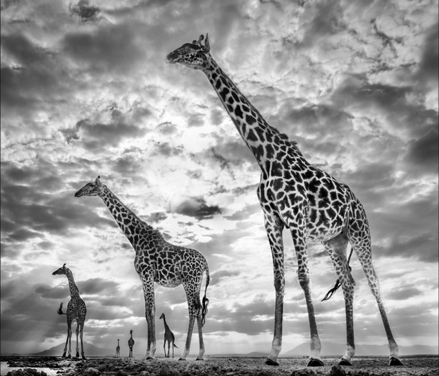 David Yarrow, 'Keeping Up With the Crouch's', 2019, Hilton Asmus