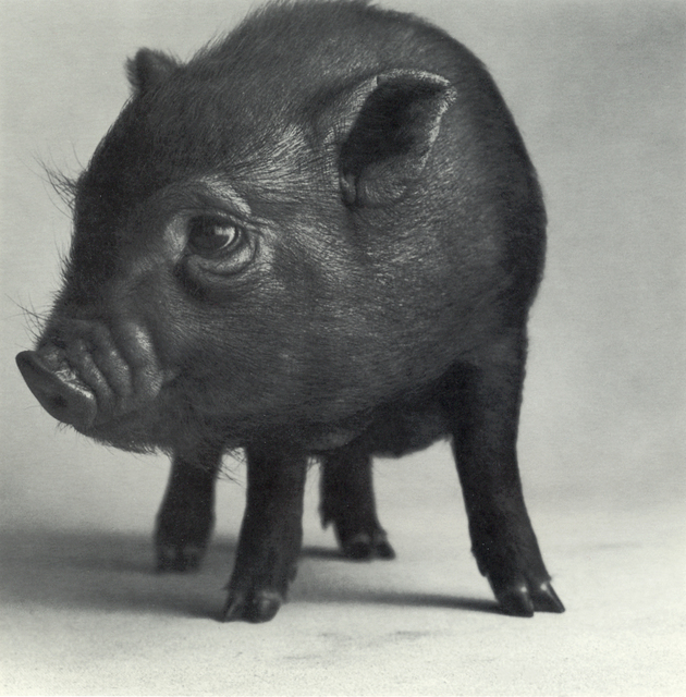 "Michael O'Neill, 'Pot-Bellied Pig, ""Sleeping Beauty""', 1991, Etherton Gallery"