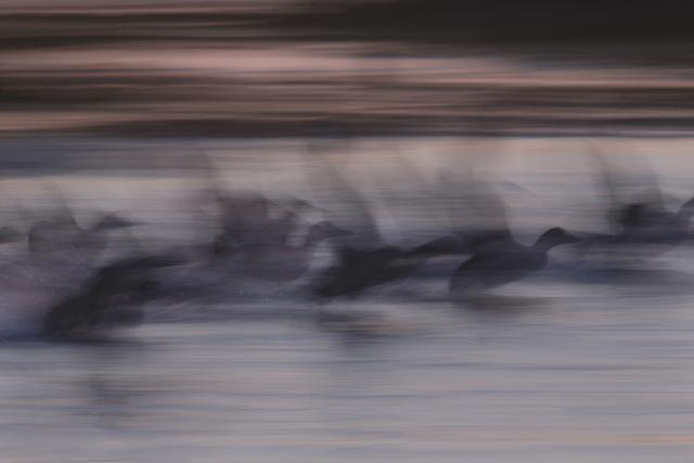 , 'Eiders in Nordic summer night,' 2014, The Art of Wild Gallery