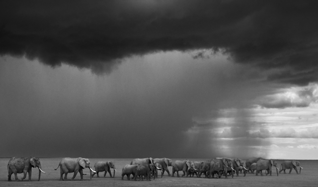 David Yarrow, 'The Gathering Storm, Amboseli, Kenya ', 2012, Photography, Archival Pigment Photograph, Holden Luntz Gallery