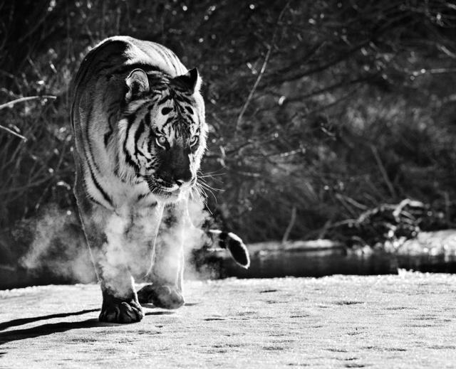 David Yarrow, 'Eye Of The Tiger', 2016, Isabella Garrucho Fine Art