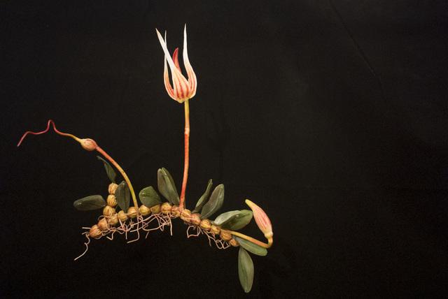 , 'END10 Bulbophyllum belliae,' 2015, Chan + Hori Contemporary