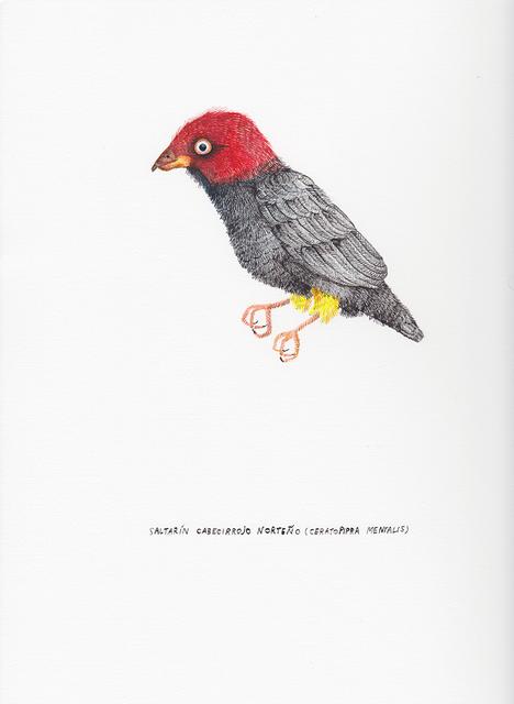 , 'Saltarín Cabecirrojo Norteño (Ceratopipra Mentalis) ,' 2017, Nueveochenta