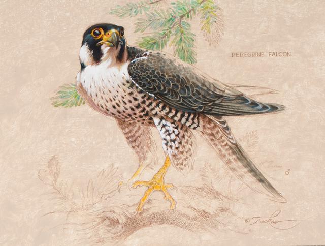 , 'Peregrine Falcon - Male,' , Trailside Galleries