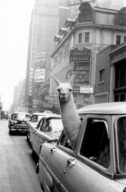 , 'A Llama in Times Square,' 1957, Milk Gallery