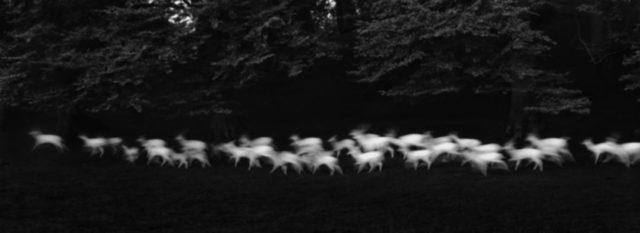 , 'Running White Deer, Co Wicklow, Ireland,' 1967, Obscura Gallery