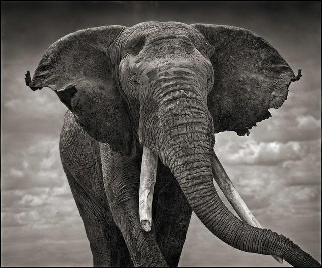 , 'Elephant with Tattered Ears, Amboseli,' 2008, Atlas Gallery