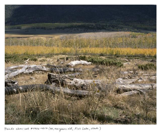 , 'Pando clear-cut #0906-4717 (80,000 years ol; Fish Lake, Utah),' 2006, Sapar Contemporary