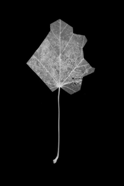 , 'Leaf Cut 07,' , Grundemark Nilsson Gallery
