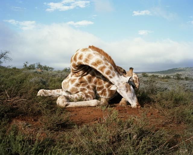 , 'Fallen Giraffe, Somerset East, Eastern Cape, South Africa,' 2012, Francesca Maffeo Gallery