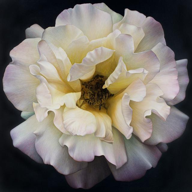 , 'Flower Series #25,' , Rosenthal Fine Art